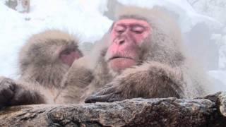 地獄谷野猿公苑は世界で唯一、 温泉に入るサルが見られる極めてユニーク...