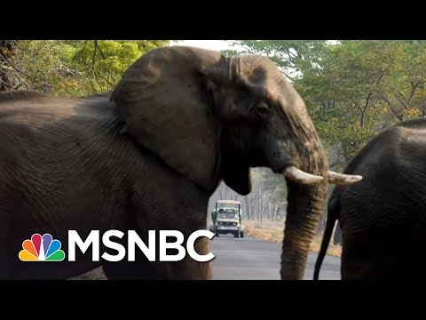 Donald Trump Halts Reversal To Obama-Era Policy On Big-Game Trophies | The 11th Hour | MSNBC