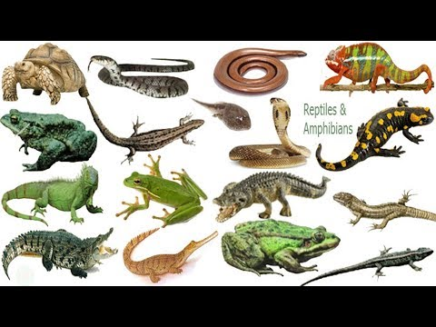 Reptiles & Amphibians  Name Meaning & Picture | সরীসৃপ্ | Necessary Vocabulary