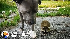 Wild Baby Raccoons Think A Pit Bull Is Their Mom  | The Dodo Wild Hearts