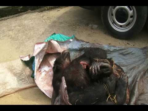 Killed Chimpanzee Arrest Operation Douala, March 2009