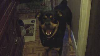 "Rottweiler/husky Says ""i Love You"""