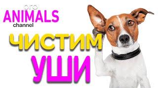 Зачем и как чистить уши собаке!