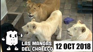 Las Mangas del Chaleco: Lady Martillo, las declaraciones de Madrazo y los leones en cautiverio