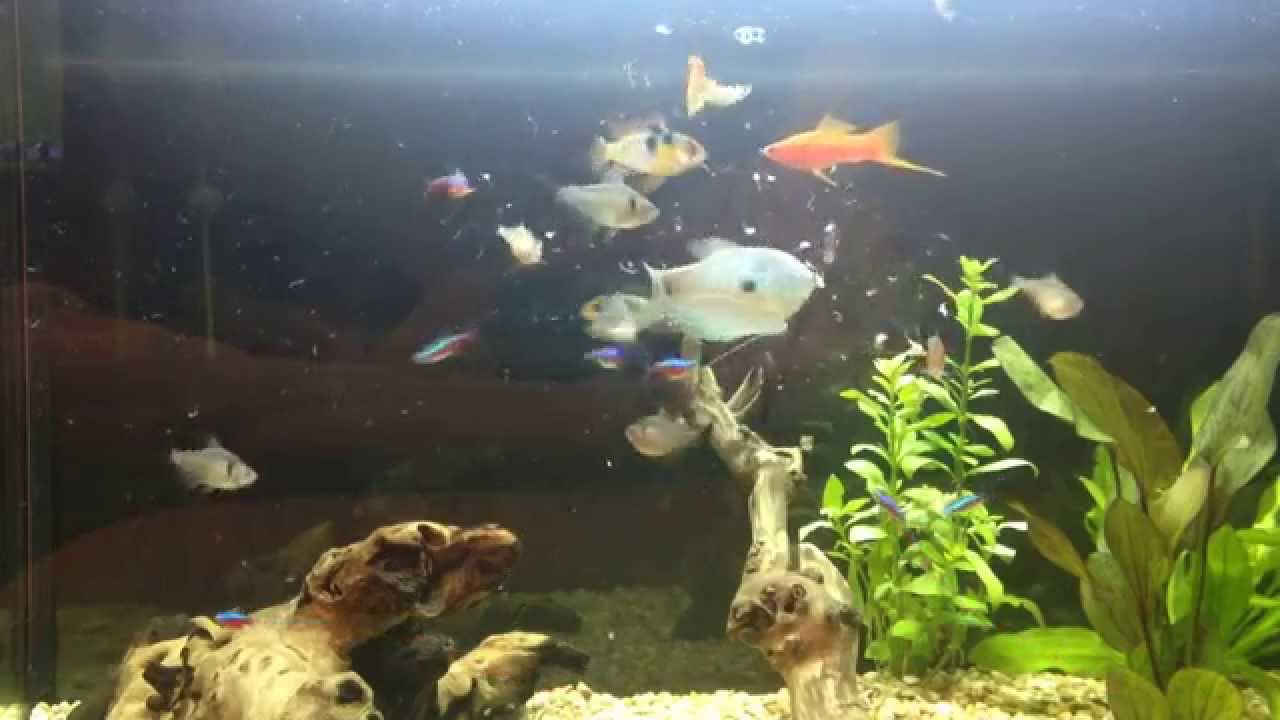 Acuario comunitario peces comiendo artemia previamente for Artemia para peces