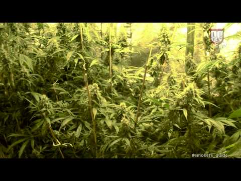Growing Cannabis with Kiwi Seeds Amsterdam SGTV HD