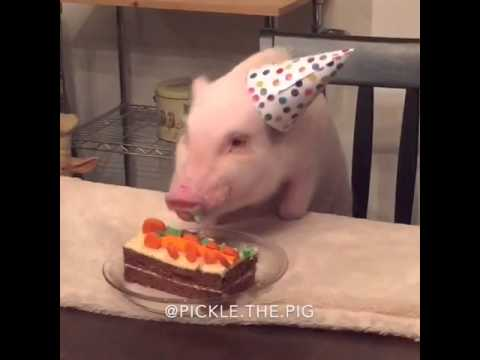 Pickle the mini pig eating birthday cake youtube - What do miniature pigs eat ...