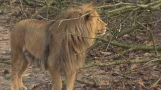 Introductie van twee leeuwenmannen | Burgers