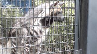 Snack time. Striped hyena.シマハイエナのおやつ時間。