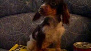 Smallest Dog In The World ? (cocker Spaniel)