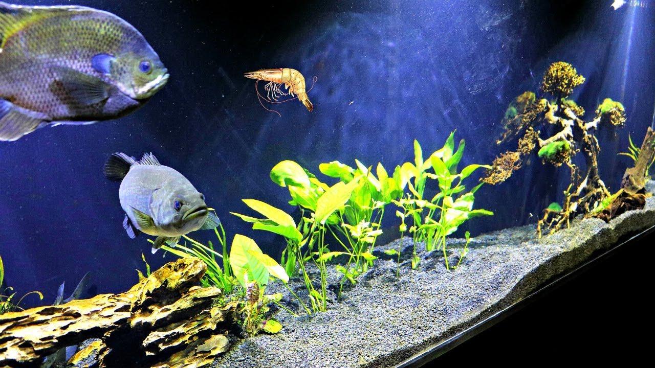 Feeding Pet Bass LIVE SHRIMP!!