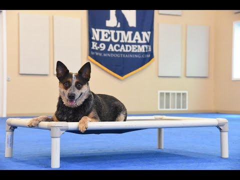 Rayleigh (Australian Cattle Dog) Boot Camp Dog Training Demonstration