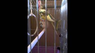Помощь в обучении попугая разговору