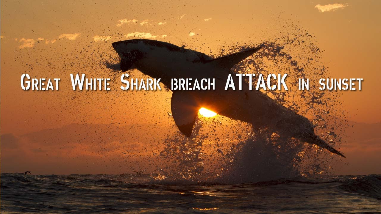Great White Shark Breach Attack In Sunset Light In Slow