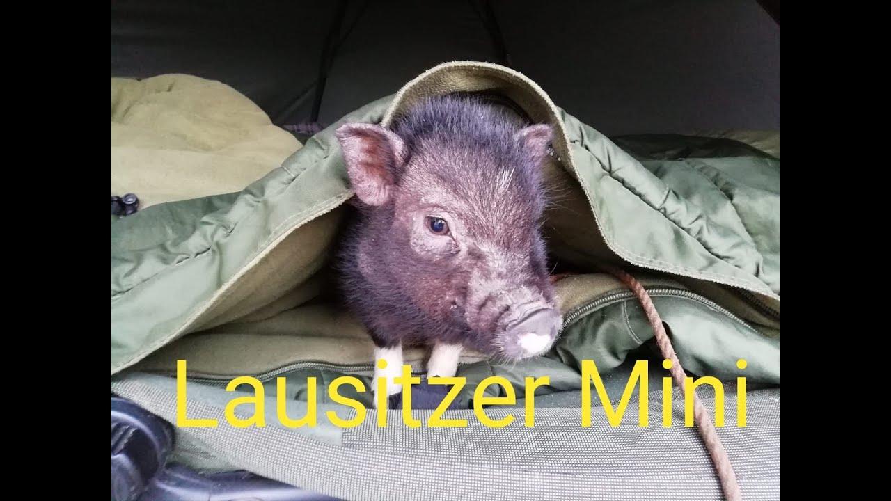 Download Minischwein Lausitzer als Haustier halten