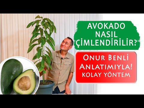Avokado nasıl çimlendirilir? Çekirdekten Kolay yöntem.