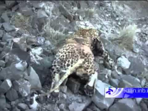 کشف پلنگ ایرانی در کیشکور استان سیستان وبلوچستان