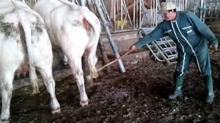 une vache ça tappe de côté!!! démonstration...