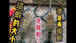 【 逆刃釣蝦Ep34】龍蝦等級的泰國蝦 超大公蝦 蝦的力量以及大小都很有水準的釣蝦場  歐熊釣蝦場 (海盛S)Shrimp fishing