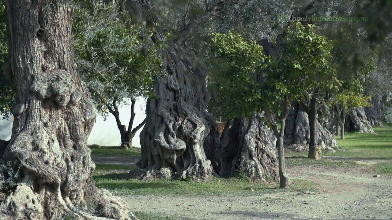 Olivos milenarios en Órgiva, Granada. En defensa del olivar tradicional, nuestro oro negro.