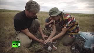 Altai Saker Falcon - Freed to be Wild _ RT Documentary