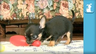 Baby Chihuahua Puppies Bowl like Pros! - Puppy Love