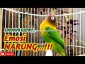 LOVEBIRD GACOR EMOSI NARUNG, Ngetik Ngekek Bikin Lawan Panas Cepat Terpancing