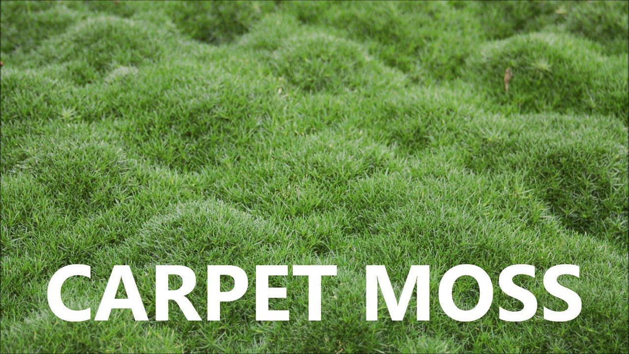 Moss Carpet - Carpet Vidalondon