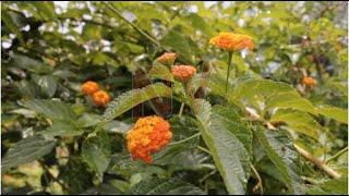 Lantana Camara weed deemed a threat in Kibale national park