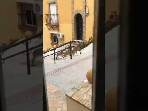 Cabras montesas en Morón de la Frontera (Sevilla)