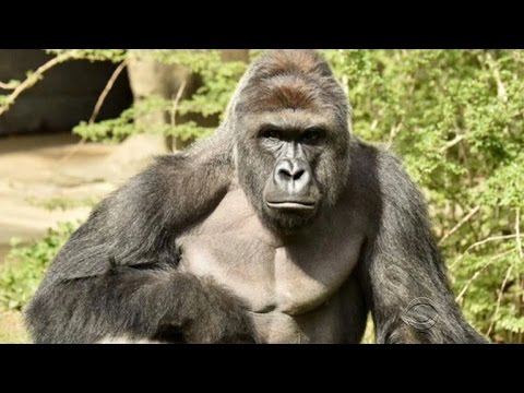 Boy saved, gorilla killed after falling into zoo exhibit