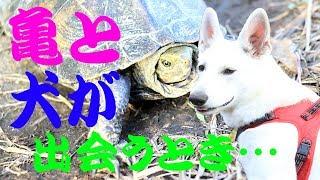 ホワイトシェパード【whiteshepherd】のさくらです☆ 散歩中に亀と遭遇。...