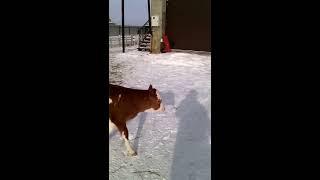 Тёлочка от ИО быка Ягеля симментал молочного направления