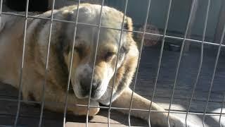 Собаки питомника сао Гарджи Хан, г. Омск .Ватари