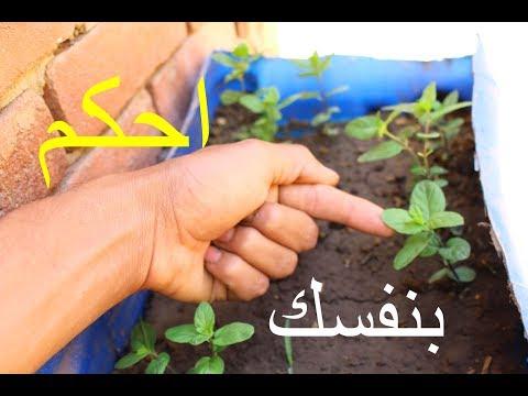 ليه النعناع بيذبل ويموت_افضل طريقه لزراعته | How to Grow Mint at Home