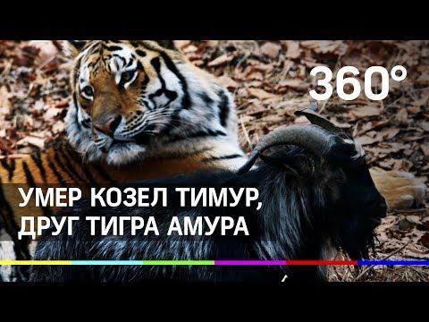 Умер друг тигра Амура - козёл Тимур