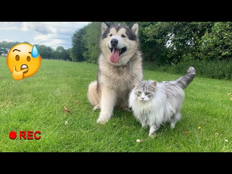 MALAMUTE TAKES MAINECOON FOR WALKIES