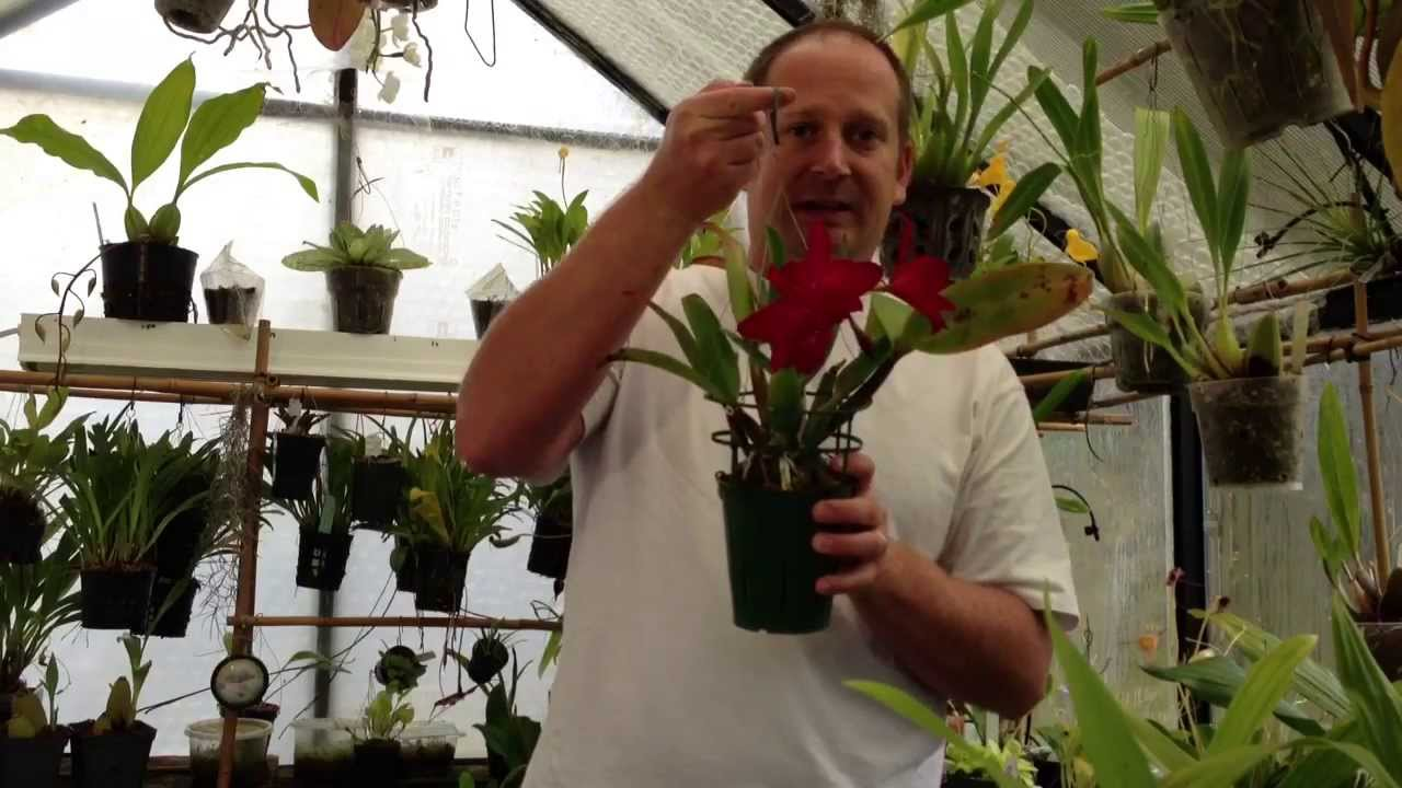 How To Grow Orchids Tips To Rebloom A Cattleya Orchid And How To