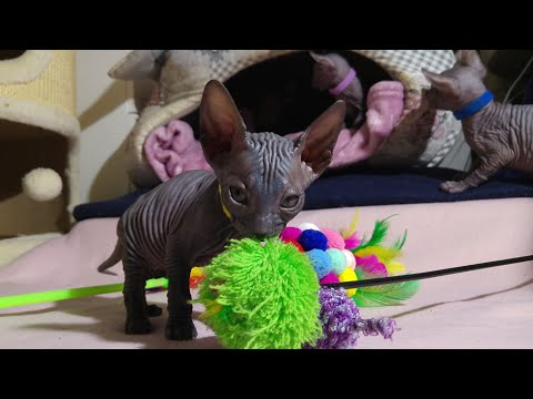 Sphynx kittens learning to play / DonSphynx /