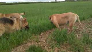 German Shepherd & Bullmastiff's Out For A Walk