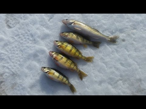 Ice fishing north dakota 2016 perch and walleye epic for North dakota ice fishing