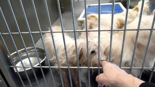 2 Poodles & 1 Peke At Dallas Animal Service - Pts On 1/6/12