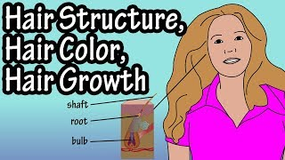 Structure Of Hair Follicle - Hair Color - How Does Hair Growth Work