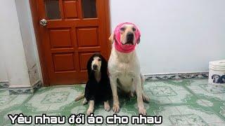 Cười rụng răng xem Kim Chi Củ Cải đổi áo cho nhau   My dog and puppy change clothes for each other