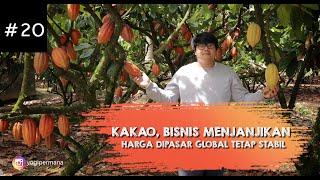 Download Lagu PETANI KAKAO | melihat usaha  sukses budidaya kakao dan produsen bibit kakao mp3