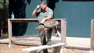 rainforest reptile shows inc alligator snapping turtle