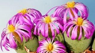 Conophytum Blüten