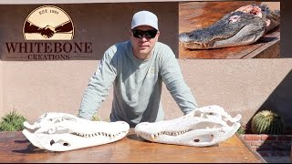 "HOW TO CLEAN AN ALLIGATOR SKULL ""GRAPHIC"""