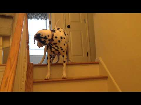 10 week old Dalmatian puppy learning to go down stairs