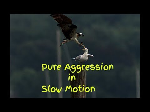 Slow motion Osprey V Gull Pure aggression